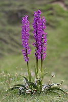 Early Purple Orchid - Orchis mascula (Orchidaceae) Height to 40cm. Attractive perennial that grows in woodland, scrub and grassland, doing especially well on neutral or calcareous grassland. FLOWERS are pinkish purple, with a 3-lobed lower lip, 8-12mm long, and a long spur; borne in tall spikes (Apr-Jun). FRUITS are egg-shaped. LEAVES are glossy and dark green with dark spots; these appear first as a rosette, from January onwards, from which the flower stalk arises later in spring.  STATUS-Widespread and locally common throughout much of the region.