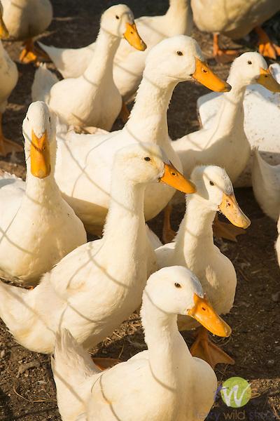 Pekin Bantam ducks.