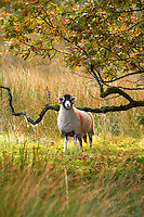 Swaledale ewe in autumn leaves and woodland, Trough of Bowland, Lancashire.