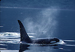 orca surfacing in Johnstone Strait, BC