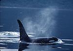 orca surfacing