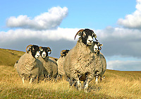 Swaledale ewes, Saddle End Farm, Chipping, Lancashire.