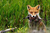 A mother red fox pauses while hauling the remains of a  greater white fronted goose back to her den and awaiting kits.