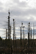 Nesting Blue Herons at  Danville, New Hampshire Town Forest during the spring months