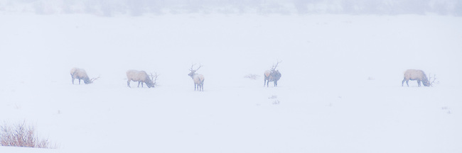 line of elk bulls on winter day in Rocky Mountain National Park, Colorado, USA