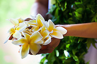 Hands holding fragrant yellow and white plumerias