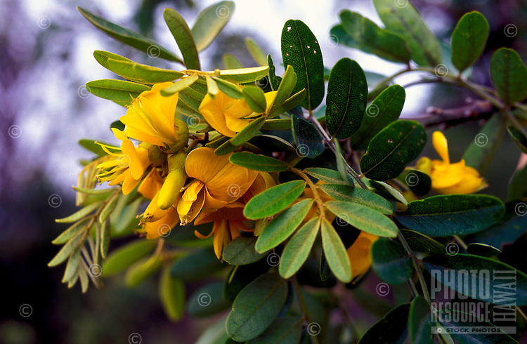 Flowers of the mamane (Sophora chrysophylla), a native hardwood, Hualalai, Kaupulehu