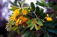 Flowers of the mamane (Sophora chrysophylla), a native hardwood, Hualalai, Kaupulehu