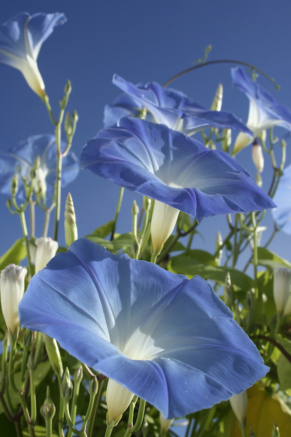 Bright blue morning glory blooms sunlit against blue sky