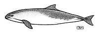 harbour porpoise, Phocoena phocoena, lateral view, pen and ink illustration.