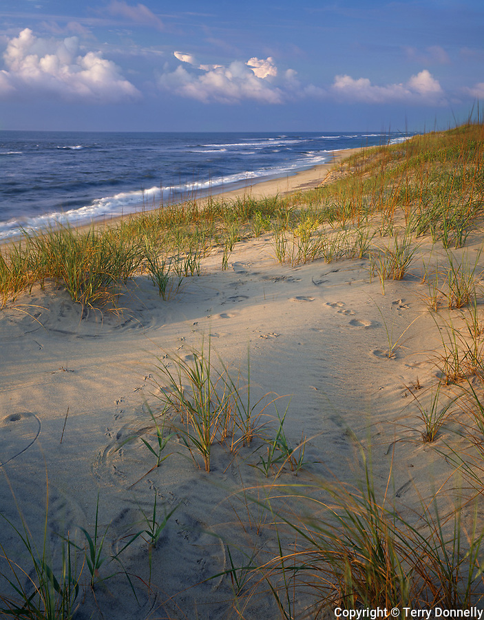 Cape Hatteras National Seashore, NC  <br /> Morning light on beach grasses and barrier dunes of Hatteras Island on north Carolina's Outer Banks