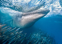 Bryde's whale, Balaenoptera brydei, attacking and swallowing bunch of sardines at once off a large baitball of Southern African pilchards, Sardinops sagax ocellatus, during annual sardine run, Wild Coast, Eastern Cape, South Africa, Indian Ocean