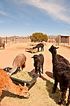 Alpacas at Blue Mesa Alpaca ranch on the outskirts of Santa Fe, New Mexico