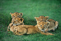 656257060 a group of four african lion cubs panthera leo huddle together for protection on the veldt in ngorogoro crater national park in tanzania east africa