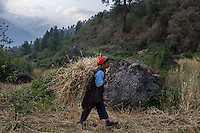 A women gathers wheat in Briddhim. Tamang Heritage Trail, Nepal, 07 May 2013.
