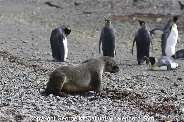 Antarctic fur seal,Arctocephalus gazella, walking towards King Penguins, Aptenodytes patagonicus, on beach at Grytviken whaling station, South Georgia, Southern Ocean, Antarctica