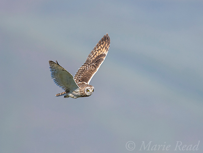 Short-eared Owl (Asio flammeus) male in flight, northern Utah, USA