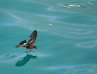 A storm petrel dances on the surface of the water while feeding.