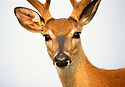 White-tailed deer, Odocoileus virginianus,  found throughout most of the continental United States, are generalists and can adapt to a wide variety of habitats. This buck pictuered in the mid summer season still has the vevlet on thier antlers