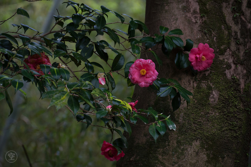 Camelia against a tree trunk at the beautiful gardens at Honen-in Temple, Kyoto.
