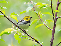 black-throated green warbler, Setophaga virens, female, perched in spring time evergreen branch, Nova Scotia, Canada