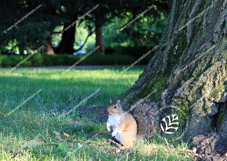 Stock photo: A big squirrel climbed down from tree standing near the bark in a grass meadow.