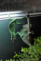 Green Iguanas for sale in the world's most exotic pet shop called Noah Inner City Zoo. The Zoo claims to have more than 300 species for sale, many are exotic and rare animals - some endangered.