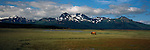 A grizzly bear walks through a meadow on the Alaska Peninsula.