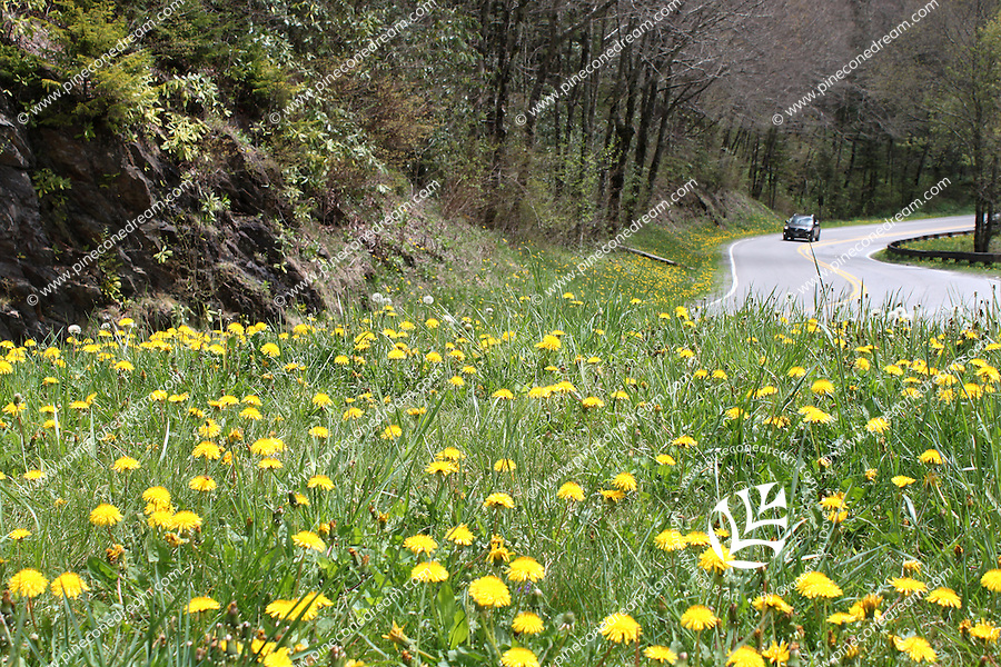 Beautiful yellow common hawkweed wildflowers field grow near a turning point on the newfound gap road in the great smoky mountain national park, Tennessee, America - Stock image.