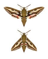 69.014 (1987)<br /> Bedstraw Hawk-moth - Hyles gallii
