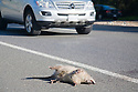 A roadkill possum at roadside of Foothill Expressway. A car driving in the background. Los Altos, California, USA