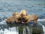 Sow bear sharing salmon with 3 cubs