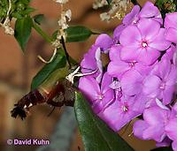 0903-0801  Flying Hummingbird Clearwing Moth Feeding on Nectar, Hemaris thysbe © David Kuhn/Dwight Kuhn Photography.