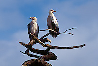 A pair of PALM VULTURES roost on a dead tree - LAKE MANYARA NATIONAL PARK, TANZANIA