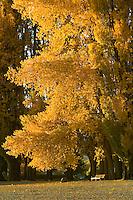Sunlit poplar tree on the edge of Lake Wanaka with park bench beneath, South Island, New Zealand.