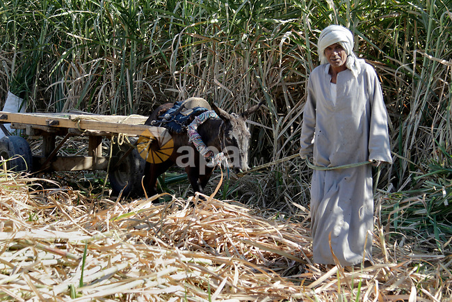 Egyptian farmers collect sugar cane during the annual harvesting season, Luxor, south of Cairo Egypt, on March 21, 2017. The city of Luxor, ancient Egyptian city of Thebes. Recognized as the greatest open-air museum of the world for the ruins of the temple complexes at Karnak and Luxor stand within the modern city. Immediately opposite, across the River Nile, lie the monuments, temples and tombs of the West Bank Necropolis, which includes the Valley of the Kings and Valley of the Queens. Thousands of tourists from all around the world arrived annually to visit these monuments contributing greatly to the economy of the modern city. Now the tourism in Egypt is deeply decreased and the city is facing a big crisis. Photo by Amr Sayed