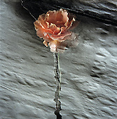 Computer generated multi-image print. Rose flower on paper background