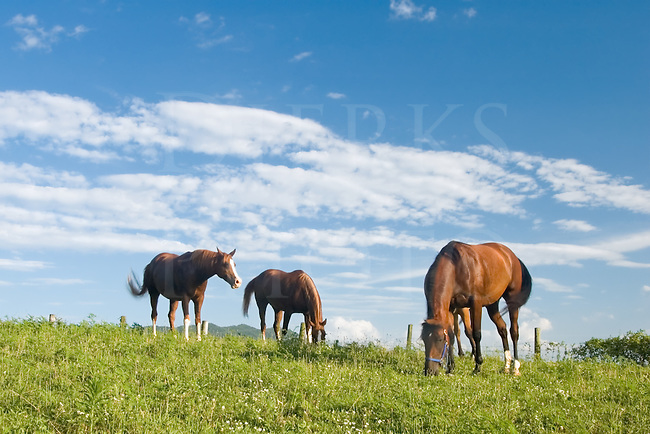 Picture of three horses grazing under a cloudscape on a tranquil Shenandoah Valley summer afternoon, tails constantly swishing at the flies.