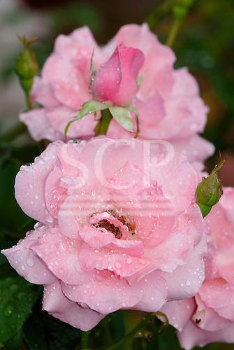 Fazenda Bauplatz, Brazil. Water droplets on a pink rose flower.