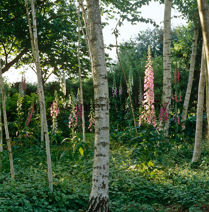 An area of pale birch trees with foxgloves swaying in the sunlight creates a patch of colour in the garden