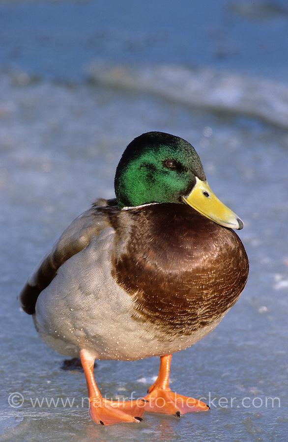 Stockente, Männchen, Erpel im Winter auf Eis stehend, Stock-Ente, Anas platyrhynchos, mallard
