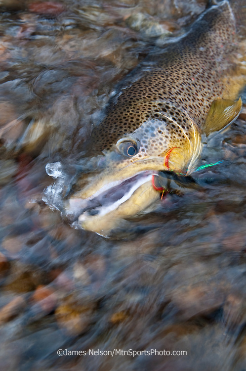Large brown trout caught on a streamer on the South Fork of the Snake River, Idaho.