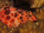 Kenting, Taiwan -- A red pixy hawkfish sleeping in the shelter of some coral branches.