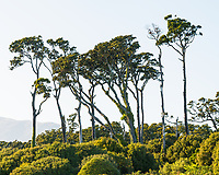 Coastal vegetation with young rimu tree near Haast, UNESCO World Heritage Area, South Westland, New Zealand, NZ