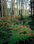 """Ferns in Aspen grove, Hannagan Meadows   ARIZONA"""