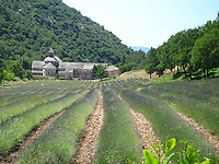 """The iconic Sénanque Abbey with lavender fields in bloom. """"Abbaye Notre-Dame de Sénanque"""" is a Cistercian abbey built in 1148, located near the village of Gordes in Provence."""