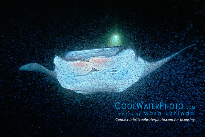 reef manta ray or coastal manta feeding on plankton at night, Manta alfredi, off Kona Coast, Big Island, Hawaii, Pacific Ocean.