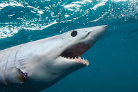 shortfin mako shark, Isurus oxyrinchus, Cape Point, South Africa, Atlantic Ocean