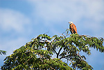 Black Collared Hawk, Busarellus nigricollis - high on tree top against blue sky, Nauapa River, Iquitos, Peru. .South America....