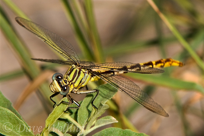 334090009 a wild female russet-tipped clubtail dragonfly stylurus plagiatus perches on a plant branch at bentsen rio grande valley state park in the rio grande valley hidalgo county texas united states